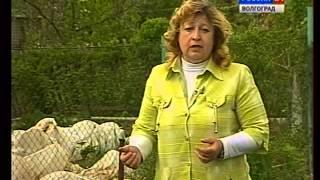 видео Малина Вислуха