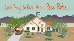Some Things to Know About Pack Rats...