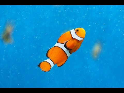 Facts: The Clownfish - YouTube