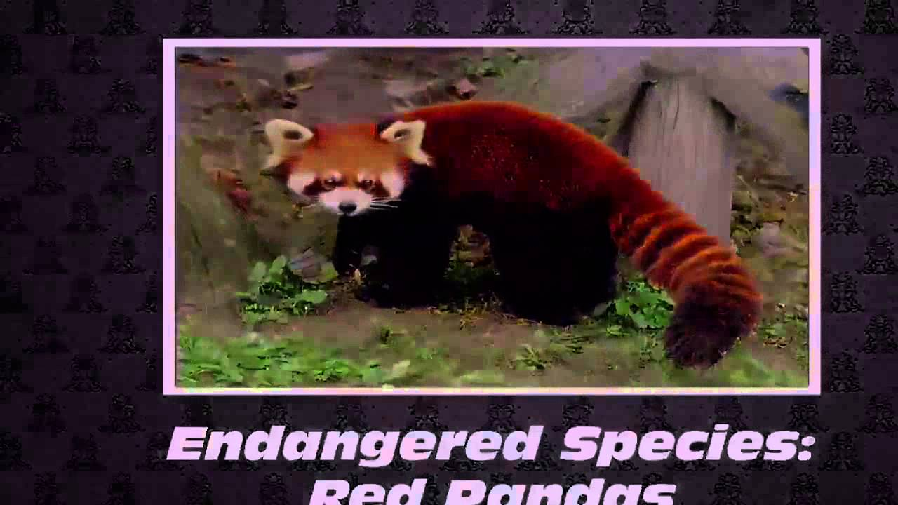 Image of: Nepal Youtube Endangered Species Red Pandas save Them Youtube