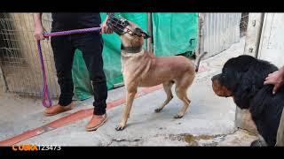 تدريب كلب المالينوا بأحتراف مع جمال العمواسي
