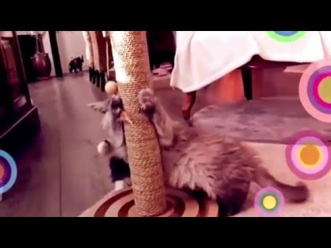 Chatons Maine Coon   Lysa et Livine : naissance chatterie Dark Shadows