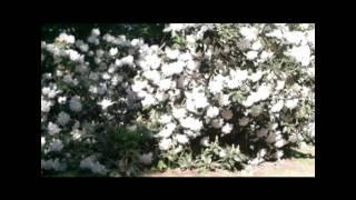 Sheringham Park Norfolk - Rhododendrons