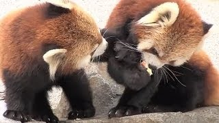 リンゴを奪い取ったココ~Red Pandas scramble for an apple thumbnail