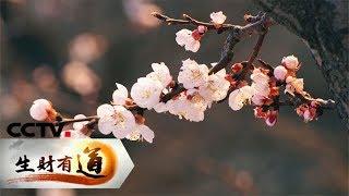 《生财有道》 20190501 咱们家乡春天美 杏富渑池 从春天开始| CCTV财经