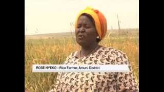 On the farm: Upland rice farming in Amuru