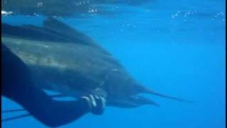 Billfish Rescue Diving With Sailfish and Marlin, Osa Pelagic, Costa Rica.  Music by Bigger Blue