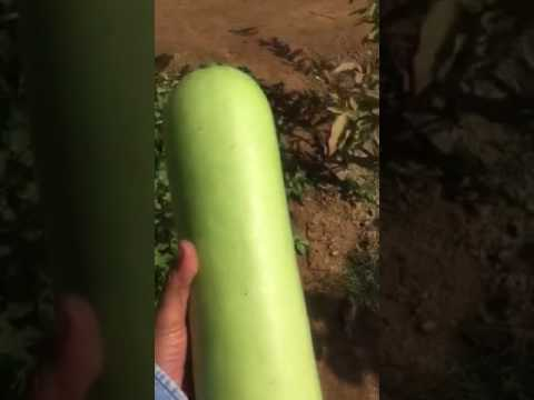 Creeper Vegetables Grown On Net Youtube