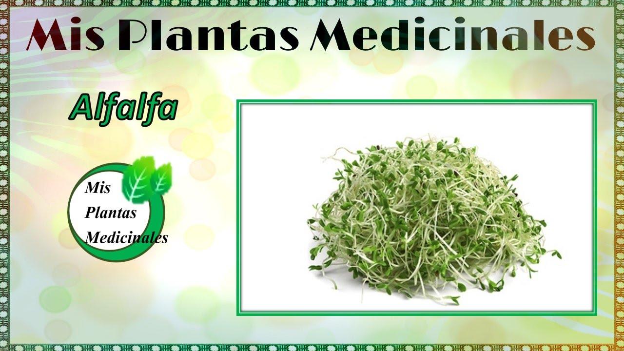 Para que sirve la alfalfa como planta medicinal for Planta decorativa con propiedades medicinales
