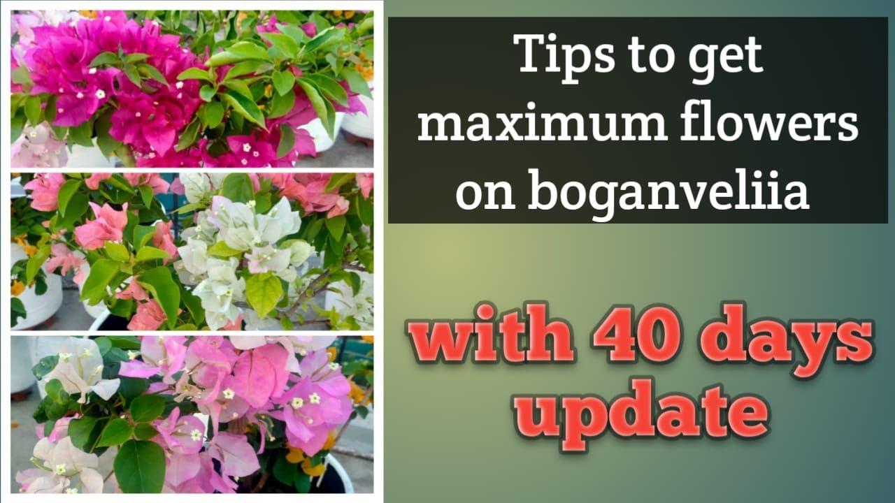 Tips to get maximum flowers on boganveliia 😍 with 40 days update/ boganveliia bloom/