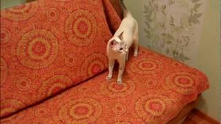 Улётное видео!: ОБЛОМ коту! Тайские кошки - это чудо! Funny Cats