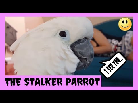 My Cockatoo Jersey Stalks My Sister While She Is Sleeping  PARROT VIDEO OF THE DAY