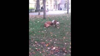 Combattimento Bulldog Inglese Dogue De Bordeaux