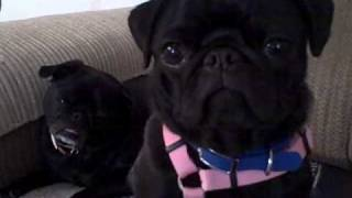 Two Black Pugs Head Tilt