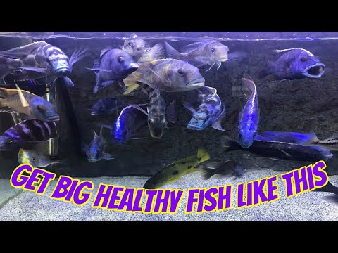 How To Have Big, Beautiful And Healthy African Cichlid Aquarium Fish
