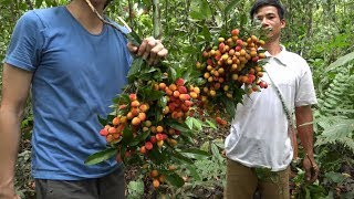 Wild litchi fruit (golden intestine), delicious and fat