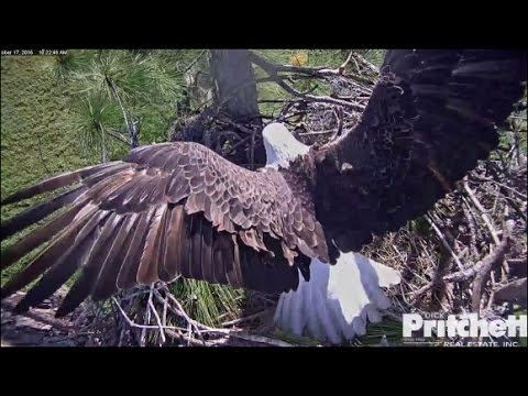 SWFL Eagles ~ M15 Brings Fish Gift for Harriet 10.17.16
