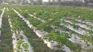 All you need to know about capsicum farming