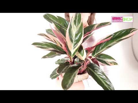 MARIA - Calathea Tricolor