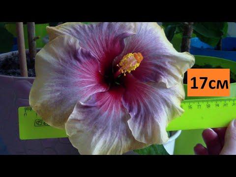 Флоридские сортовые гибискусы цветение. Что делать если гибискус  не цветет