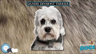 Dandie Dinmont Terrier  Everything Dog Breeds