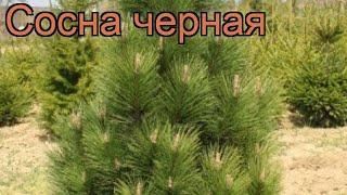 Сосна черная (pinus nigra) ???? черная сосна обзор: как сажать, саженцы сосны
