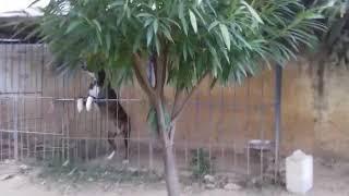Beautiful my dog|Afghan kuchi dog