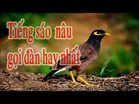 Tiếng sáo nâu gọi đàn dài hơn một tiếng dùng để mồi chim