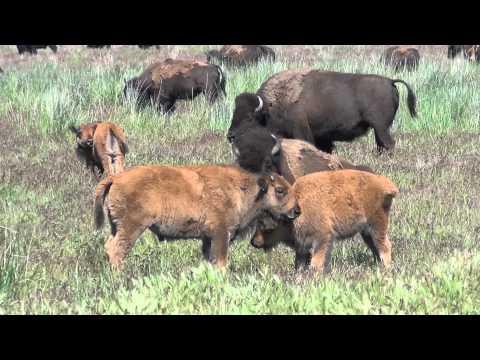 Bison Calf Play - Antelope Island
