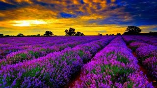 Baixar - Guided Meditation For Relaxation Lavender Flowers Calmness Tranquility Balance Peace Grátis