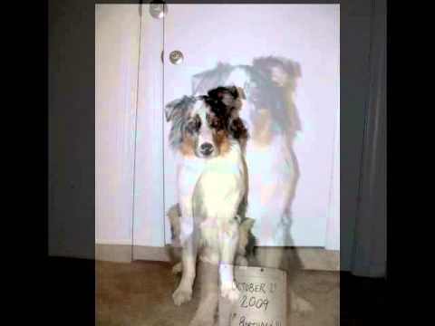 Australian Shepherd Dog Growth Time Lapse 8 Weeks 1 Year