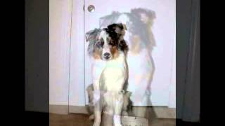 Australian Shepherd Dog Growth Time Lapse (8 Weeks-1 Year)