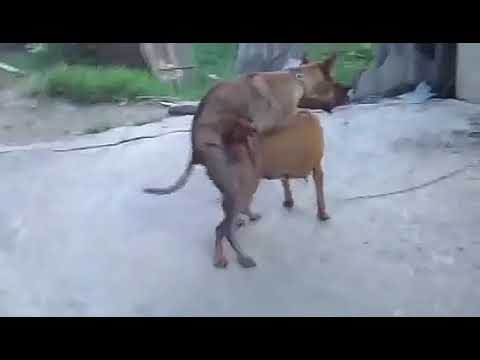DOG FUCKING HARD-Mating