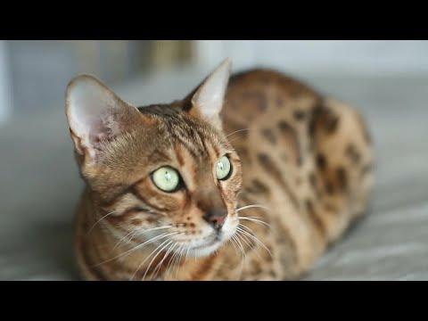Bengal House Cat Stock Video