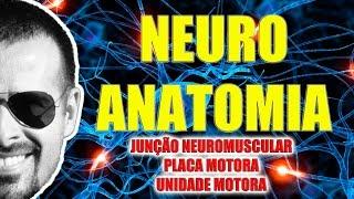 Vídeo Aula 084 - Sistema Nervoso/Neuroanatomia: Junção neuromuscular, placa motora e unidade motora