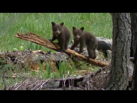 Black Bears of Sequoia and Kings Canyon