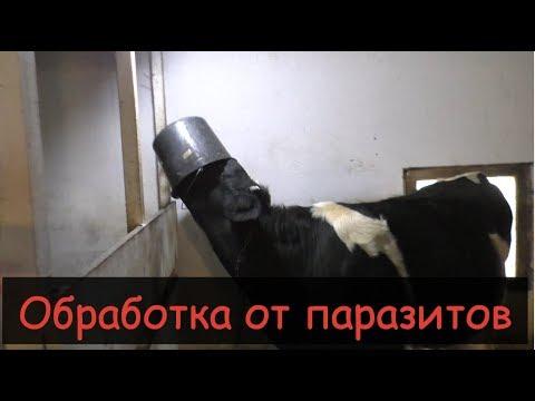 Вопрос: Почему у коров уменьшается молоко Причины и решение?