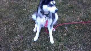 Siberian Husky With Gme (presumed) And Neurologic Symptoms