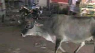 India - Vacas Sagradas