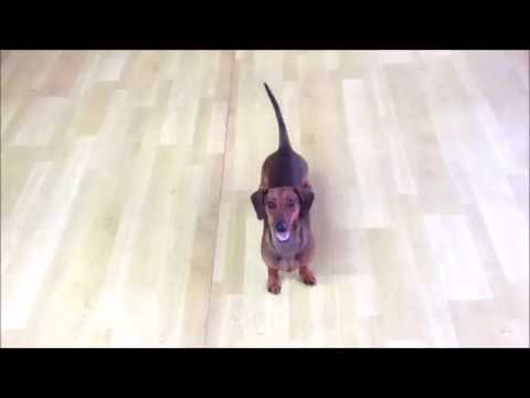 "Nepali Dog Training : Teaching your dog to ""DROP"" on command"