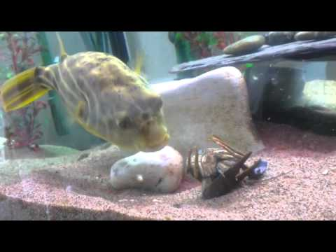Pufferfish puffs up doovi for Blowfish vs puffer fish