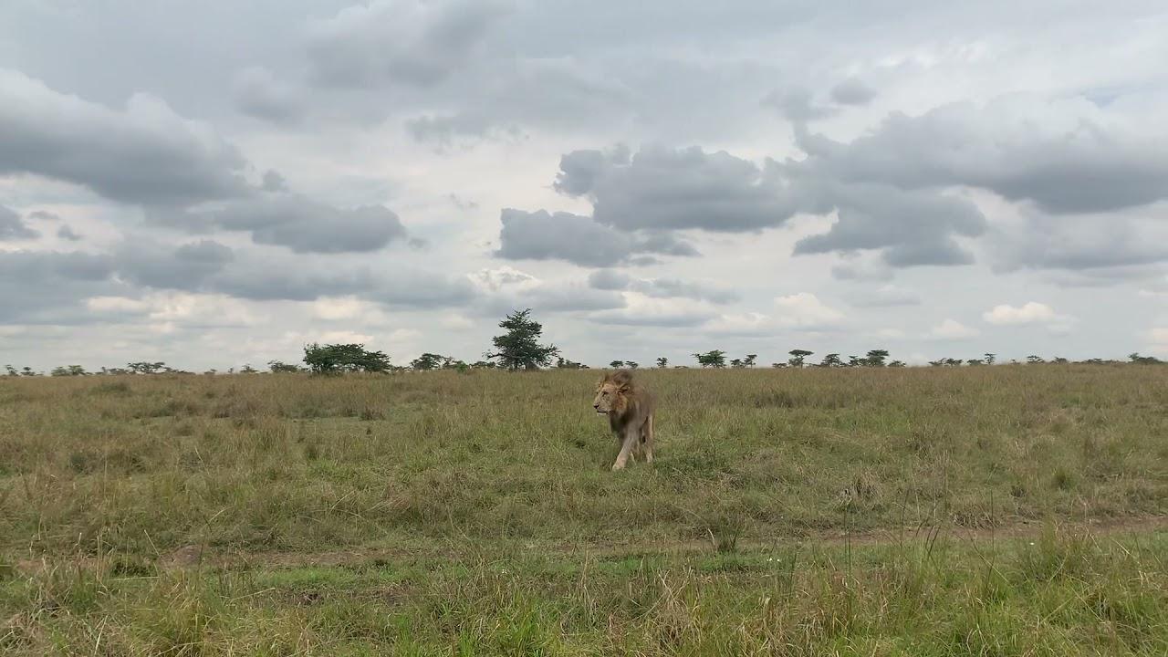 Big Male Lion Up Close!!!