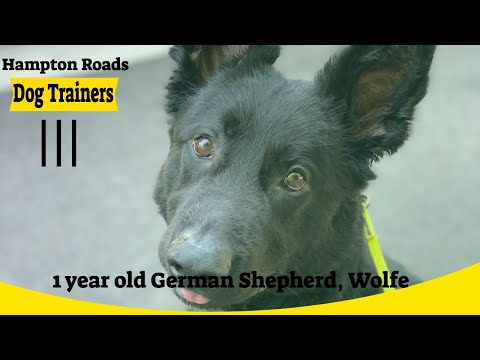 German Shepherd 'Wolfe' | Awesome Transformation | Amazing Obedience