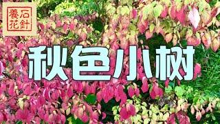 秋天变色的几种木本植物 - 加拿大紫荆花Redbuds, Dogwood, Sargent Cherry