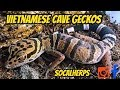 Vietnamese Cave Geckos Video Update