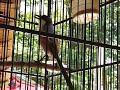 Suara Cantik Burung Cendet Pentet   Mp3 - Mp4 Download
