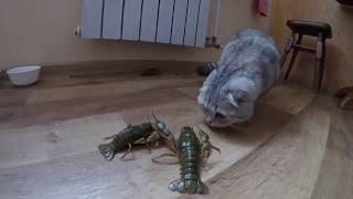 Кошка и Рак 😻 Реакция Шотландской Вислоухой Кошки Хлои на Живых Раков 🐱 Животные