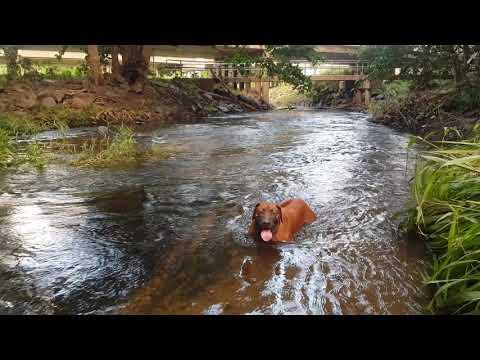 Ridgeback And Daschund Creek Swim After RAIN