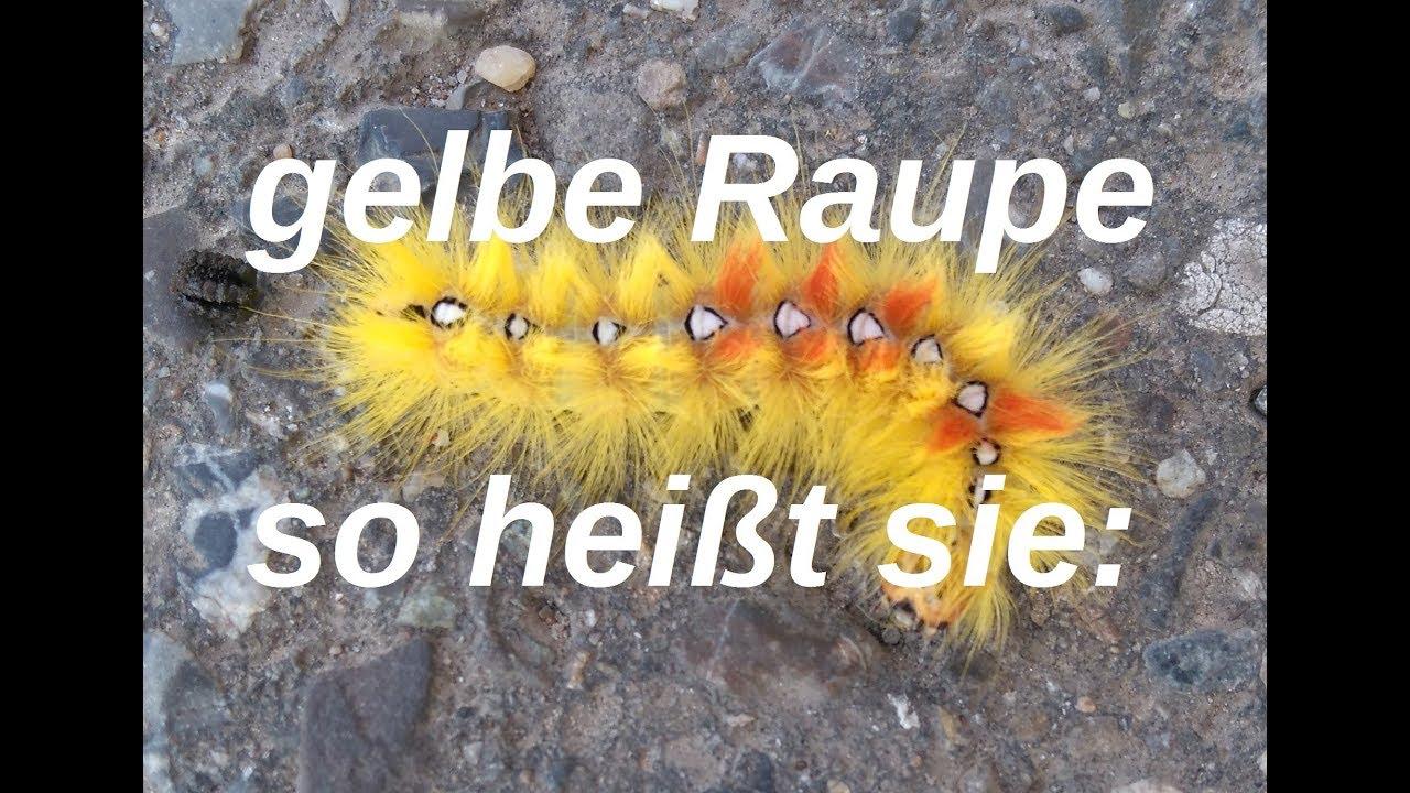gelbe Raupe mit Haaren und Punkten - Ahorneule - Rosskastanieneule ...