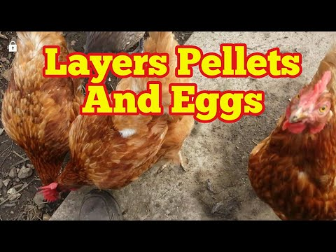 Layers Pellets Made Hens Start Laying Egg Again!